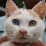 神秘的なオッドアイの猫さん画像