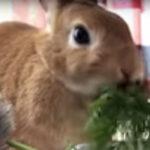 【魅惑の咀嚼音】ウサギのお食事ASMR