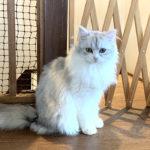 【猫カフェ】美猫| レトロな古民家猫カフェ