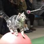 珍しい猫のショー!那須どうぶつ王国でのイベント映像