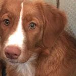 ノヴァスコシアダックトーリングレトリーバー 名前の長~い犬種①