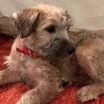 アイリッシュソフトコーテッドウィートンテリア 名前の長~い犬種②
