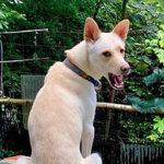 紀州犬って知ってる?柴犬と同じ天然記念物の家庭犬