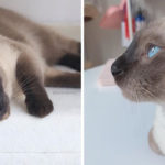 【実例付き】シャム?実は「トンキニーズ」かも!シャム猫とトンキニーズの違い