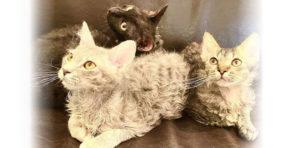 【珍しい猫種】ウェーブヘアーの可愛い猫種3選