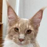 猫の耳先の長い毛、「リンクスティップ」に隠されたヒミツ