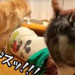 大型犬を多頭飼いしたい方必見!愛と覚悟が試されるステキなドタバタ動画