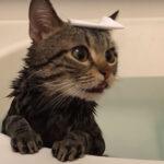 お風呂好き猫「ちょり」さんの衝撃的なお風呂映像