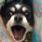 犬の予防接種動画「やめてぇぇぇぇ!!」「頑張ってぇぇぇぇ!!」