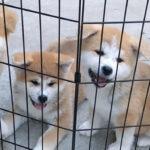 【驚異のモフモフ】秋田犬の子犬写真に悶絶【秋田犬保存協会】