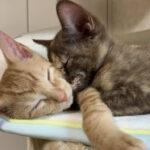 猫は2匹飼うのが鉄板!?猫も人も2倍幸せ!