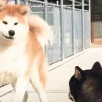【豆柴VS秋田犬】体格差あっても仲良くできる…?
