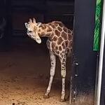 【動物園の日常】動物たちの出勤風景がそれぞれ違って可愛い
