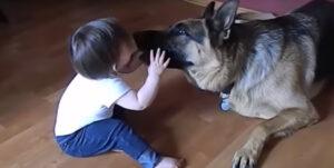 【犬は守るべきものを知っている】人間の赤ちゃんとわんさんの仲良し動画集