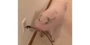 豚が賢いという証明動画「掃除機うるさいからこうしてやる」