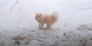 北極海に取り残されたサモエド犬、怪我はあるものの無事救出