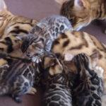 【ベンガル子猫】お祖母ちゃん猫と子猫の初対面【幸せ空間】