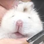 【動物病院の日常】ハムスターの爪切り【可愛い of 可愛い】