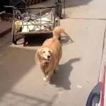 ご主人が乗った救急車を必死で追いかける犬