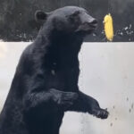 【可愛いとシュールの渋滞】クマにとうもろこしあげてみた!