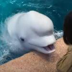 【水族館のアイドル】ベルーガ「あ~そ~ん~で~よぉ~」