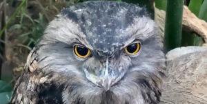 【知ってる?】色んな表情が魅力的な不思議な鳥「オーストラリアガマグチヨタカ」