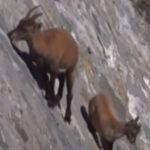 【アルプスアイベックス】ほぼ垂直の壁を自由に移動する親子ヤギ