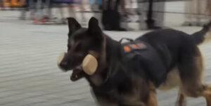 【犬のお仕事】警察犬の普段の訓練は何をするの?