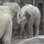 【上野動物園】子象のためのプールレッスン「まずはスロープを降りよう」