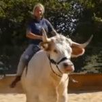 【乗馬ならぬ乗牛】馬術競技を会得した牛さんがこちら
