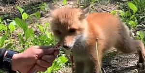 【可愛すぎ】子狐にちゅ~るあげてみた