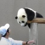 【癒し】元気いっぱいな子パンダが可愛さ100点満点な件