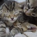 【電池切れ】子猫の寝落ちの瞬間、集めました