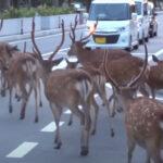 【奈良の日常】鹿の大群が闊歩する交差点