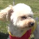小型犬でも警察犬!?トイプードルの調査訓練