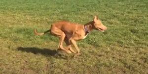 【走る犬って美しい】犬の最高時速ランキング