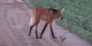 【見よこの脚線美】タテガミオオカミってご存知?