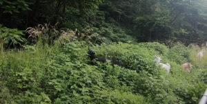 【ビフォーアフター】ヤギの驚異的な除草パワーを見よ