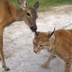 【ヨーロッパオオヤマネコ】意外なお友達はなんと小鹿さん