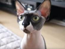 無毛の猫さん「スフィンクス」動画で観ると可愛いかも