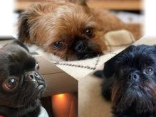 同じ親から別の犬種が生まれる!?プチブラバンソン・ベルジアングリフォン・ブリュッセルグリフォン3犬種のヒミツ