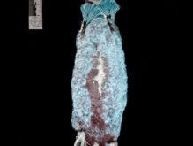 体が光る!?不思議な動物「カモノハシ」に目的不明の新発見